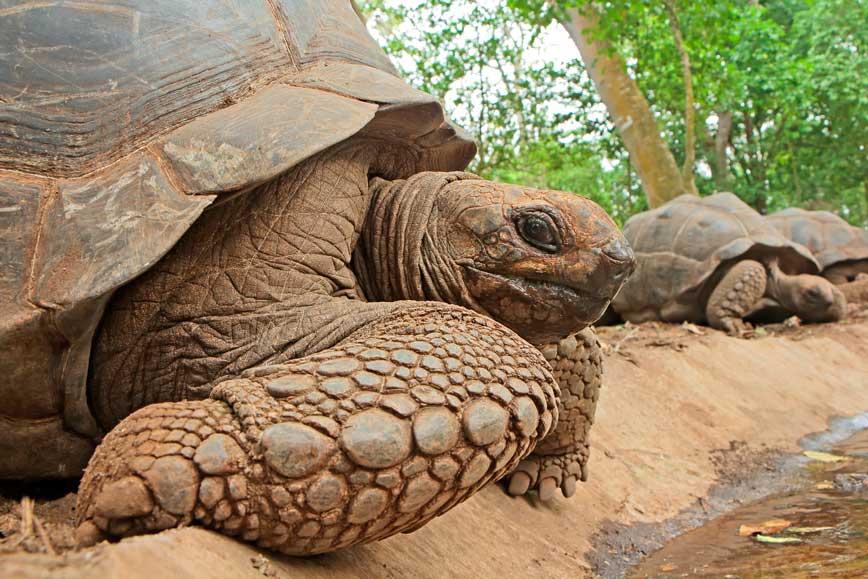 Riesen-Schildkröte